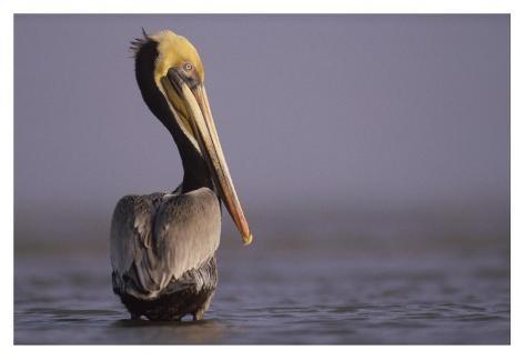 Brown Pelican adult portrait, Texas Kunstdruck