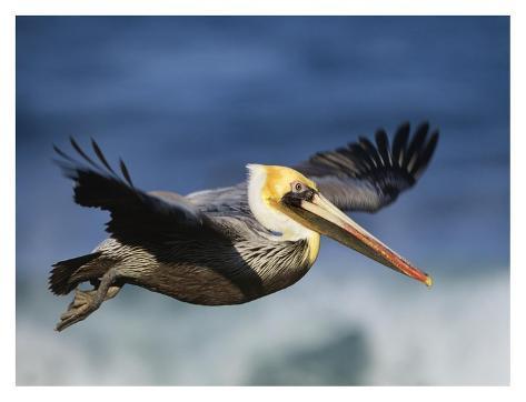 Brown Pelican flying, North America Kunstdruck