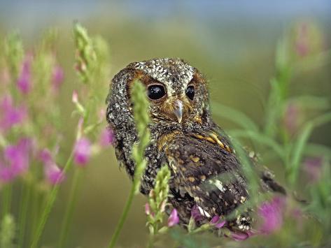 Flammulated Owl, British Columbia, Canada Fotografie-Druck
