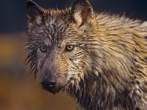 Gray Wolf Headshot, Montana Fotografie-Druck