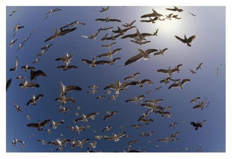 Western Gulls flying, North America Kunstdruck