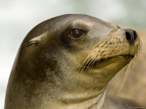 Closeup of a California Sea Lion Fotografie-Druck