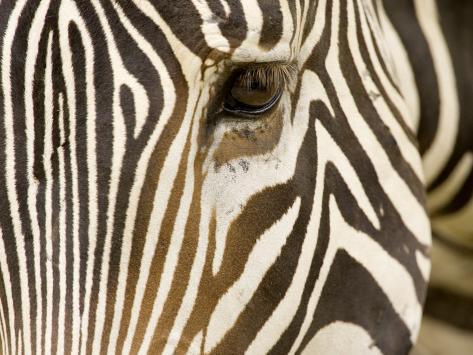 Closeup of a Grevys Zebra's Face Fotografie-Druck