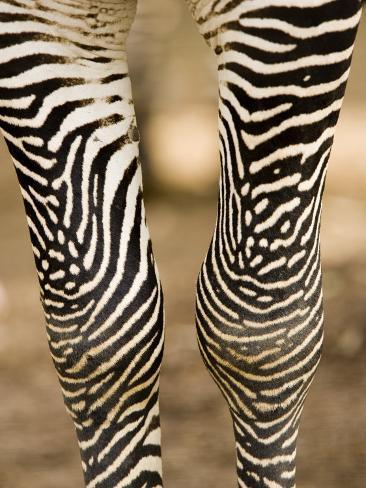 Closeup of a Grevys Zebra's Legs Fotografie-Druck