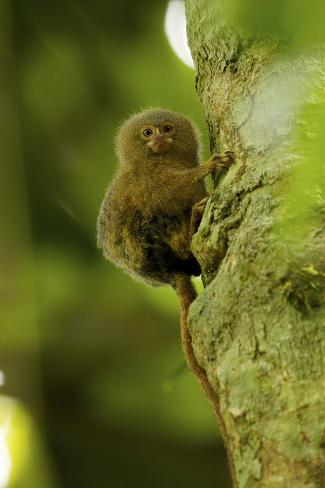 Pygmy Marmoset (Callithrix Pygmaea) Next to the Tiputini River Fotografie-Druck