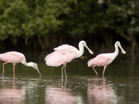 Roseate Spoonbills Feed on a Mangrove Island, Tampa Bay, Florida Fotografie-Druck