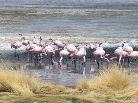 Flamingoes in Small Salt Lake Near Laguna Colorado, Southwest Highlands, Bolivia, South America Fotografie-Druck