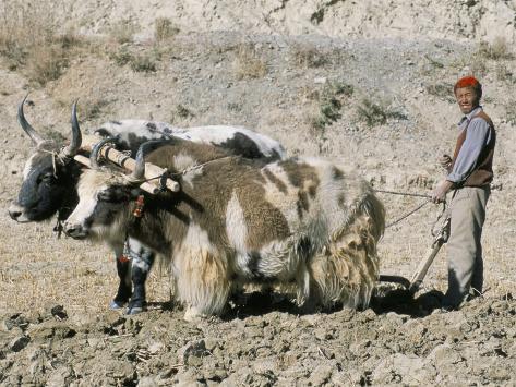 Yak-Drawn Plough in Barley Field High on Tibetan Plateau, Tibet, China Fotografie-Druck