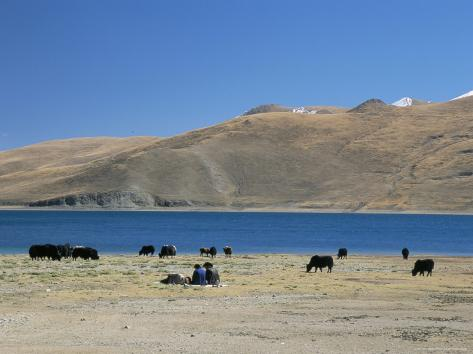 Yaks Graze by Yamdrok Lake Beside Old Lhasa-Shigatse Road, Tibet, China Fotografie-Druck