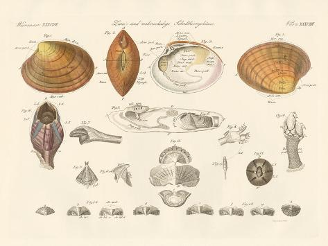 Two- and Morevalve Conch Cases or Mussels Giclée-Druck