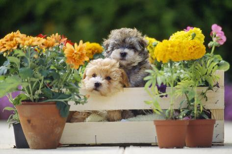 Two Puppies in Crate with Autumn Flowers Fotografie-Druck