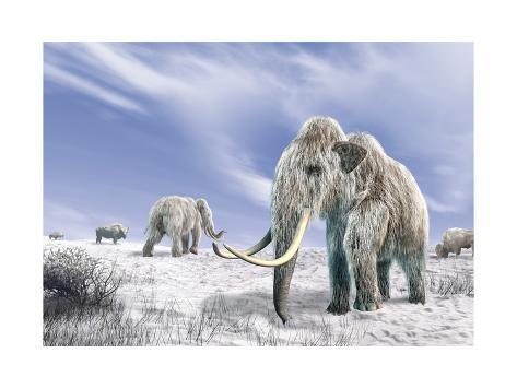 Two Woolly Mammoths in a Snow Covered Field with a Few Bison Kunstdruck