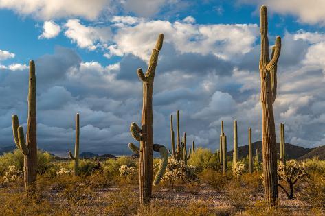 Various cactus plants in a desert, Organ Pipe Cactus National Monument, Arizona, USA Fotografie-Druck