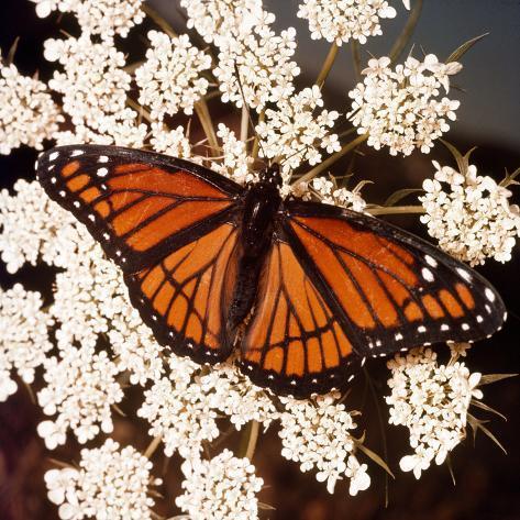 Viceroy Butterfly Fotografie-Druck