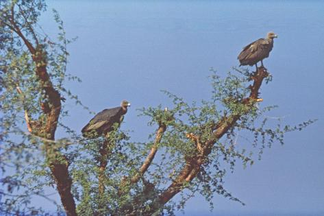 Vultures Perch Above a Parsee Dakhma Fotografie-Druck