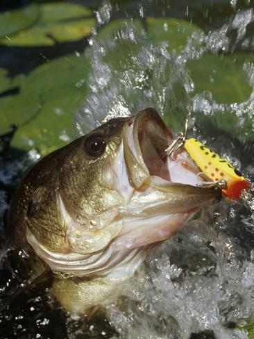 Largemouth bass with surface lure fotografie druck von for Fish out of water menu