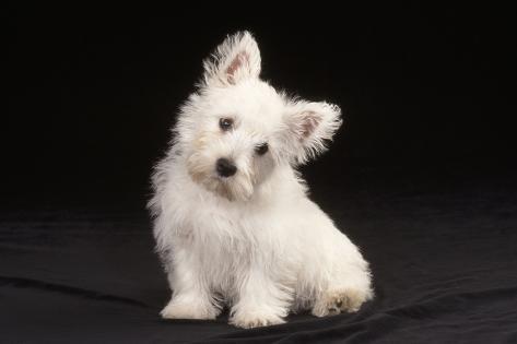 West Highland White Terrier Dog Puppy Sitting Fotografie-Druck