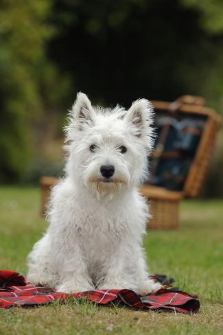 West Highland White Terrier Puppy Sitting Fotografie-Druck