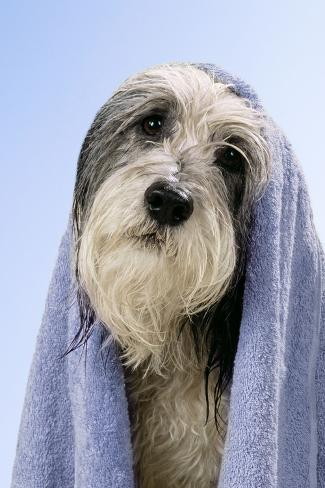 Wet Dog with Towel, Close-Up of Head Fotografie-Druck