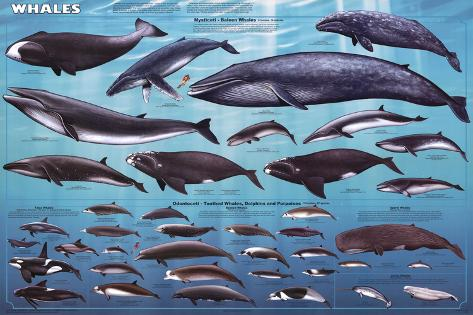 Whales Educational Poster Poster