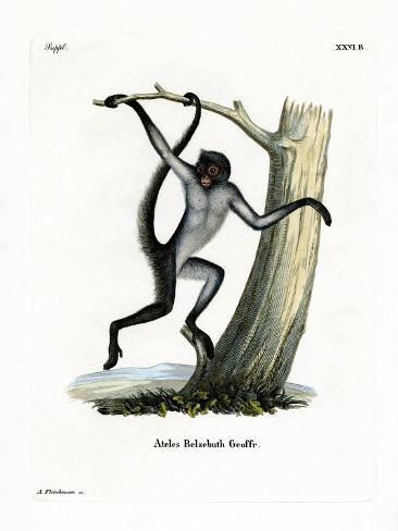 White-Bellied Spider Monkey Giclée-Druck