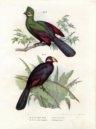 White-Crested Turaco, 1864 Giclée-Druck