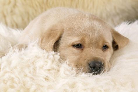 Yellow Labrador Puppy on Sheepskin Rug Fotografie-Druck