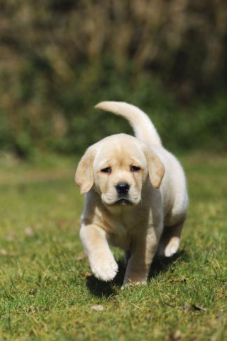 Yellow Labrador Puppy Running on Lawn Fotografie-Druck