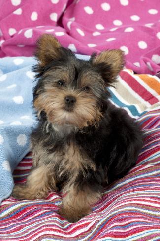 Yorkshire Terrier Puppy Sitting on Blankets Fotografie-Druck
