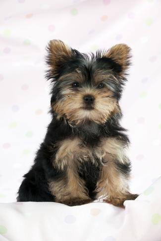 Yorkshire Terrier Puppy Fotografie-Druck