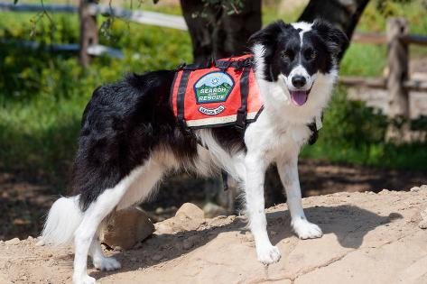 Border Collie Search and Rescue Dog Fotografie-Druck