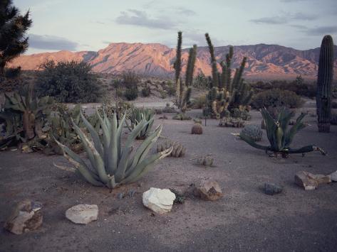 オールポスターズの サム エイベル a desert cactus garden in nevada