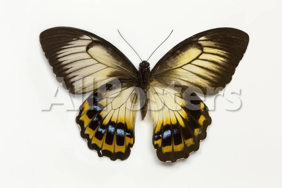 オールポスターズの ダリル グリン orchard swallowtail butterfly