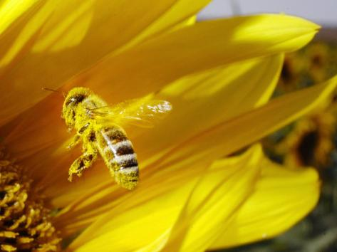 A Bee Covered with Yellow Pollen Approaches the Blossom of a Sunflower July 28, 2004 in Walschleben Photographic Print
