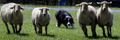 A Border Collie Demonstrates Sheep Herding Photographic Print
