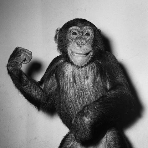 A Chimp, 1955 Photographic Print