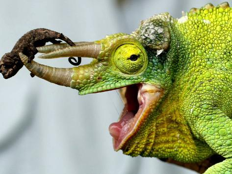 A Newly Born Jackson's Chameleon Rests on its Dad's Horns Photographic Print
