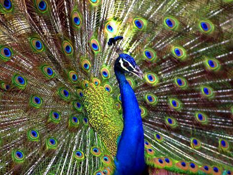 A Peacock Spreads its Feathers at the Alipore Zoo Photographic Print