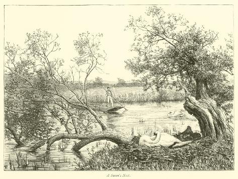A Swan's Nest Giclee Print