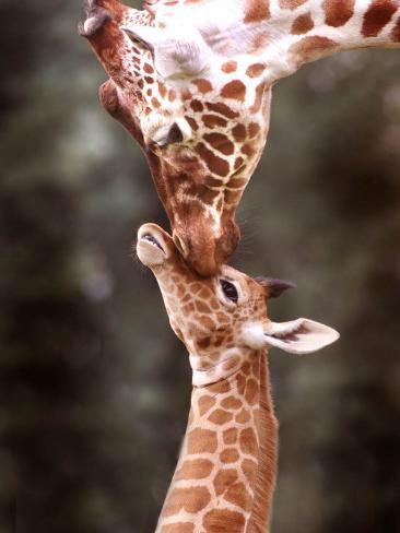 A Three Week Old Baby Giraffe with Its Mother at Whipsnade Zoo Photographic Print