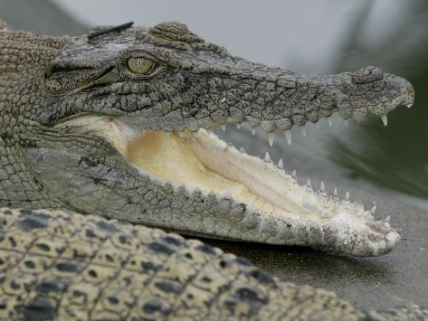 A Young Saltwater Crocodile Photographic Print