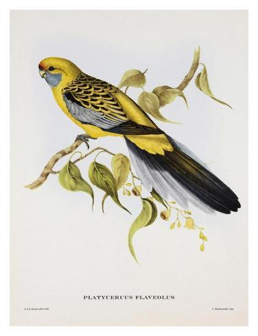Platycercus Derbianus Art Print