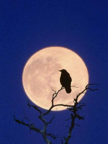 Full Moon over Raven in Tree Photographic Print