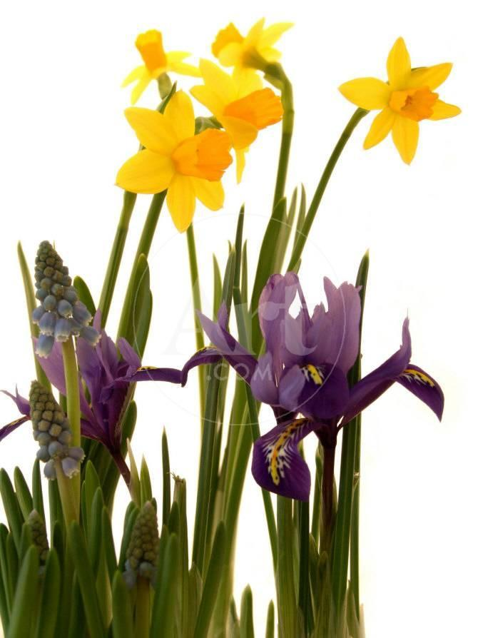 Spring Flowers Daffodils Iris And Muscari Photographic Print By