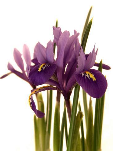 Spring Flowers: Iris Photographic Print
