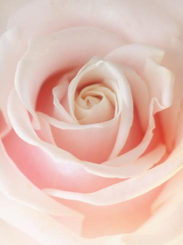 Still Life Photograph, a Pink Rose, Shot with Shallow Dof Photographic Print