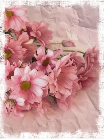 Still Life Photograph, Chrysanthemum Flowers Photographic Print