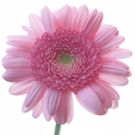 Still Life Photograph, Frontal Shot of a Pink Gerbera, Square Format Image Photographic Print