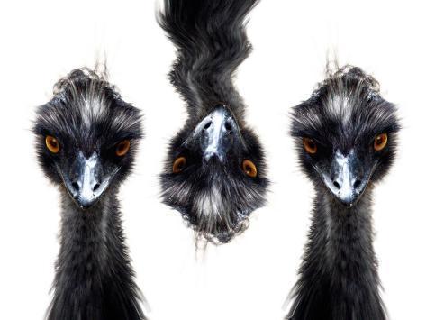 Three Emus Photographic Print