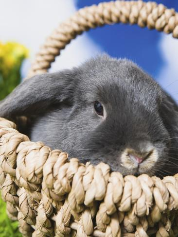 Lop-eared Easter bunny Photographic Print